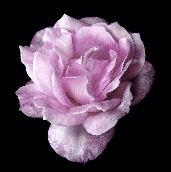 Pink rose against black background